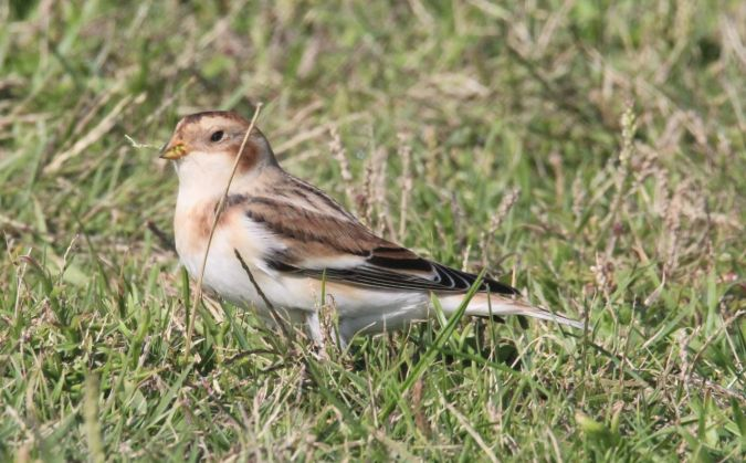 Snow Bunting  - Bertrand Lamothe