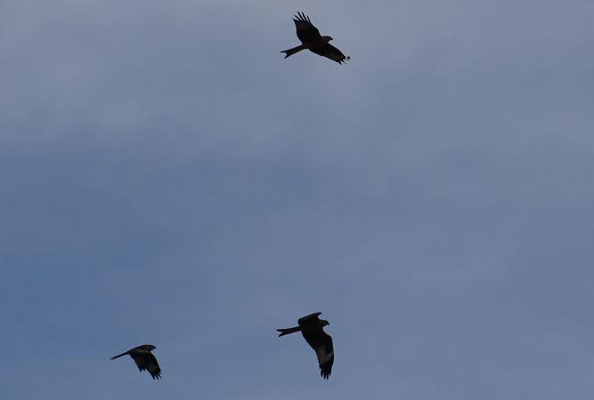 Red Kite  - Vincent Bawedin