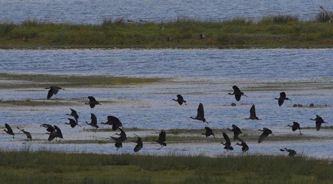 Zwarte ibis  - Geoffroy Chabot