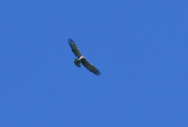 Short-toed Snake Eagle  - Geoffroy Chabot