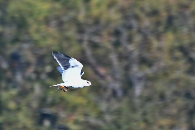 Black-winged Kite  - Alain Dupuy