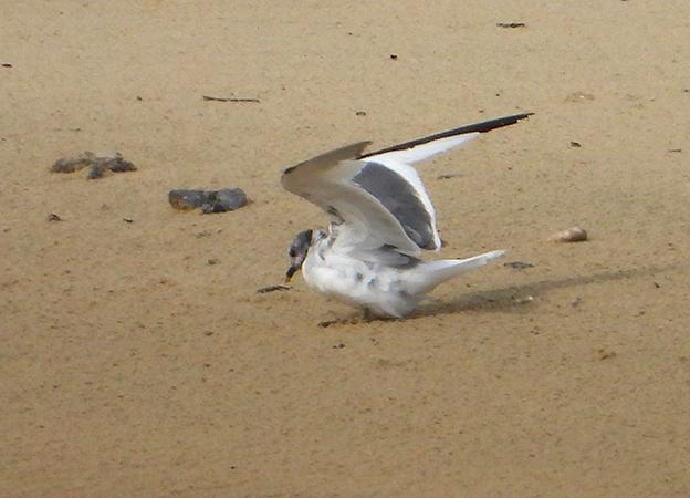 Sabine's Gull  - Didier Masson