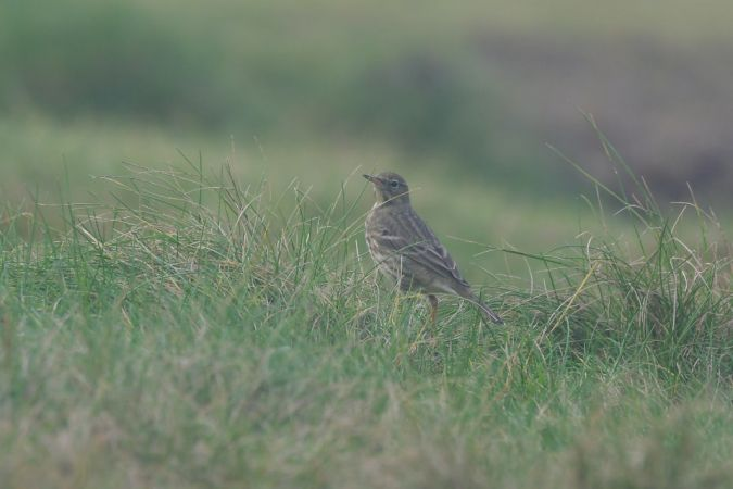 Rock Pipit  - Esteban Rodrigues
