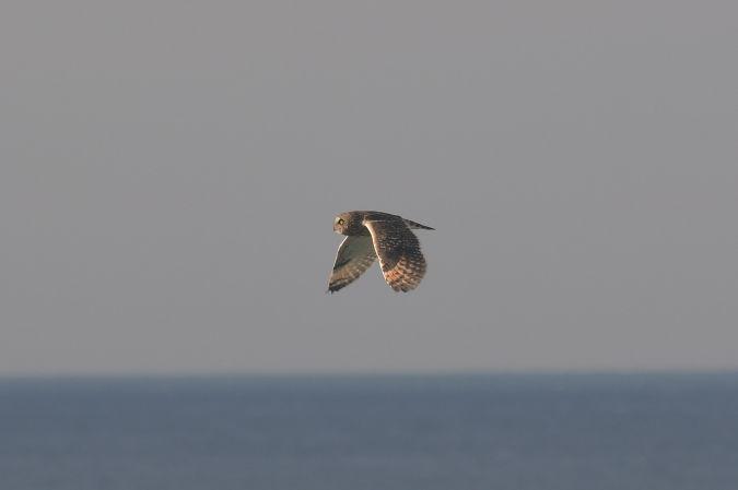 Short-eared Owl  - Esteban Rodrigues
