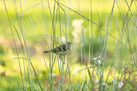 Yellow-browed Warbler  - Anthony Godard
