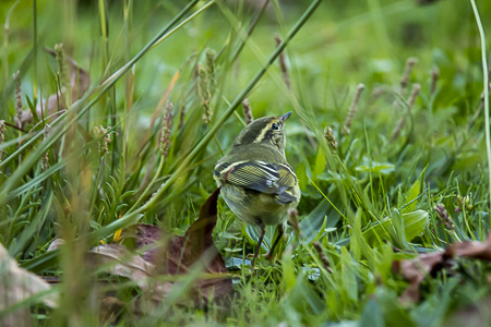 Yellow-browed Warbler  - Anthony Godard