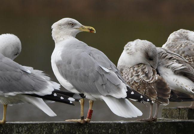 Cantabric Yellow-legged Gull  - Geoffroy Chabot