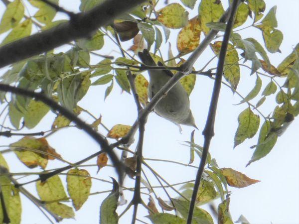 Yellow-browed Warbler  - Jean-Valentin Dourthe