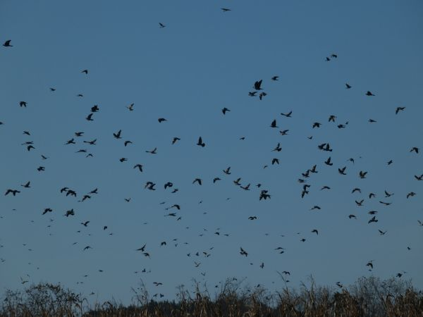 Common Wood Pigeon  - Jean-Valentin Dourthe