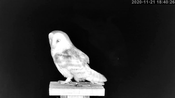 Western Barn Owl  - Stephane de Werra
