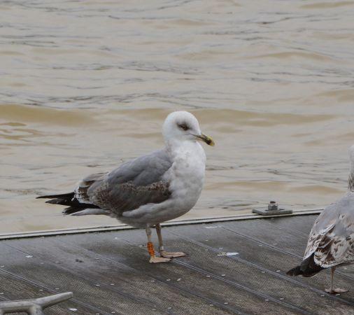 Cantabric Yellow-legged Gull  - Joël Bried