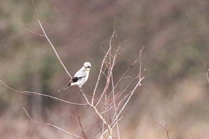 Great Grey Shrike  - Fany Jariod