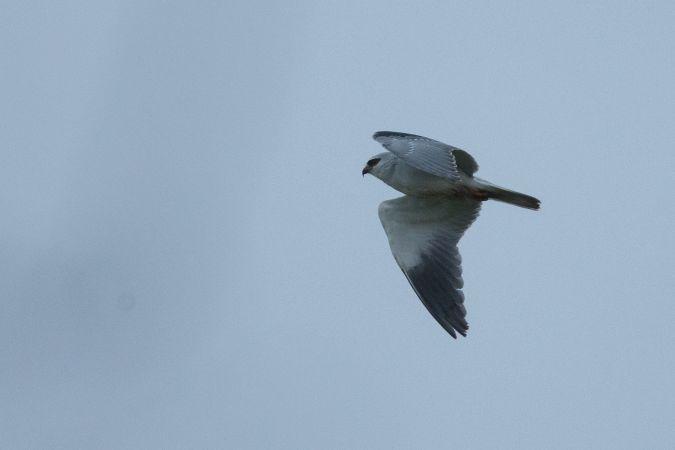 Black-winged Kite  - Killian Ferreira