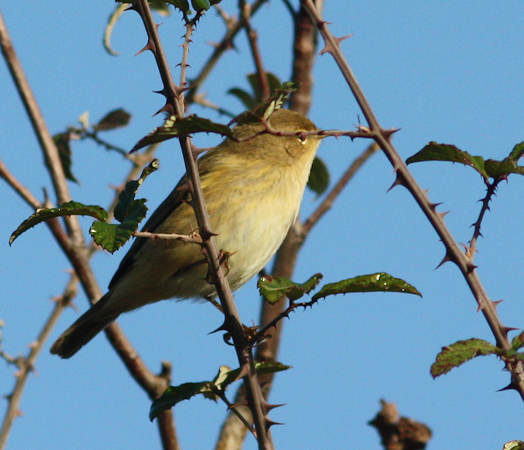 Common Chiffchaff  - Alain Naves