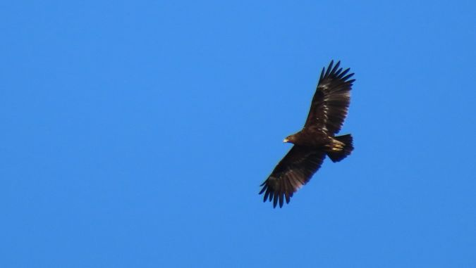 Greater Spotted Eagle  - Jean-Louis Bourdens
