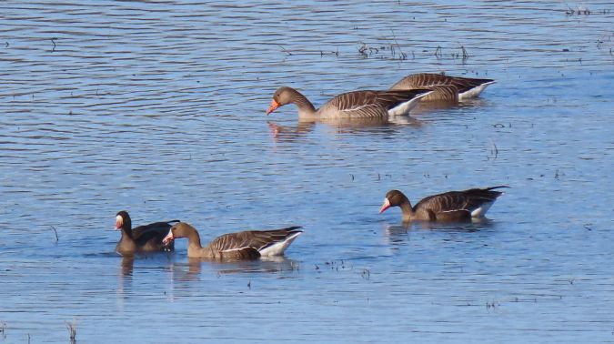 Greater White-fronted Goose  - Jean-Louis Bourdens