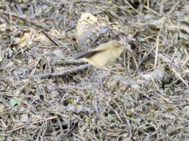 Phylloscopus-Warbler, unidentified  - Jean Marc Villaret