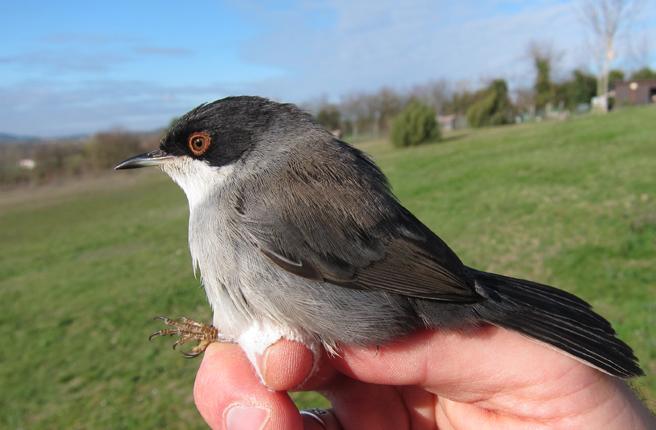 Sardinian Warbler  - David Lambottin