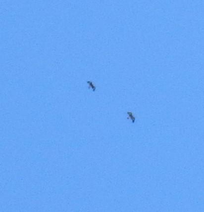 Golden Eagle  - Carine Bidegaray