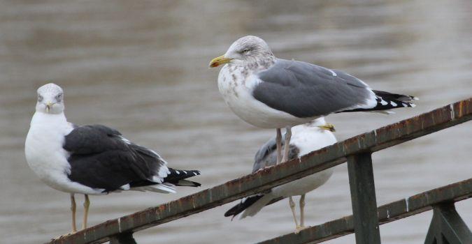 Herring x Lesser Black-backed Gull  - Bertrand Lamothe