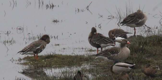 Greater White-fronted Goose  - Bertrand Lamothe