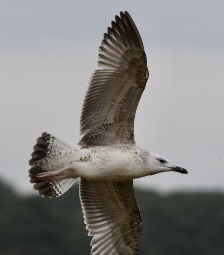 Caspian Gull  - Geoffroy Chabot