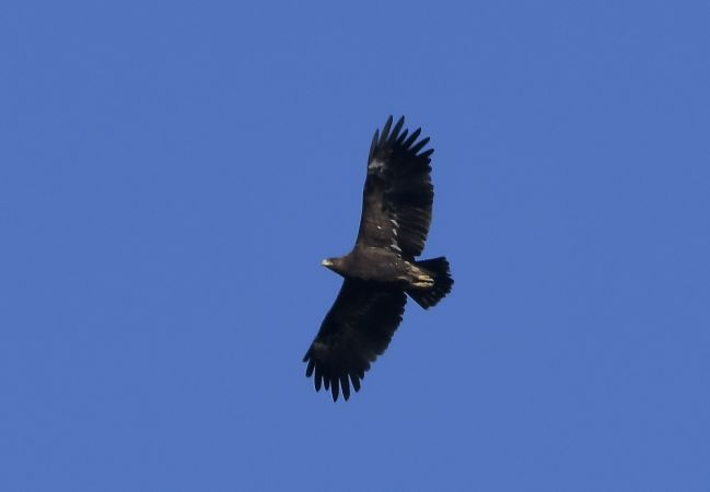 Greater Spotted Eagle  - Geoffroy Chabot