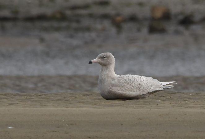 Glaucous Gull  - Geoffroy Chabot