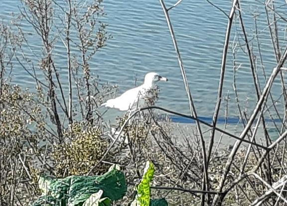 Glaucous Gull  - Département de La Gironde Espaces Naturels Sensibles