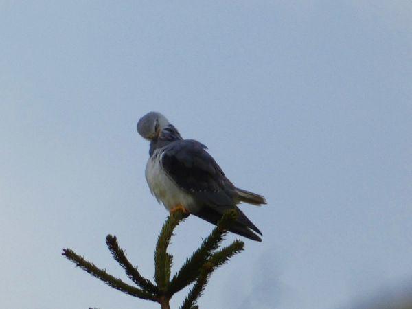 Black-winged Kite  - Jean-Valentin Dourthe