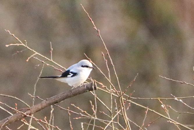 Great Grey Shrike  - Fany Jariod