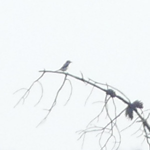 Grey / Southern Grey Shrike  - Gilles Prince