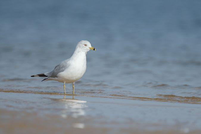Ring-billed Gull  - Killian Ferreira