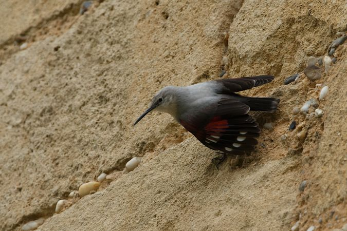 Wallcreeper  - Killian Ferreira
