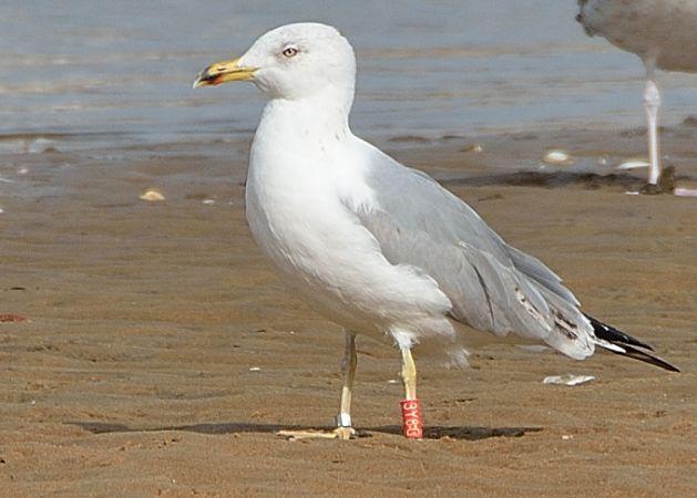 Cantabric Yellow-legged Gull  - Guy Delcroix