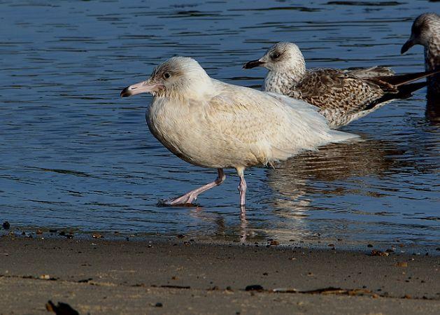 Glaucous Gull  - Guy Delcroix