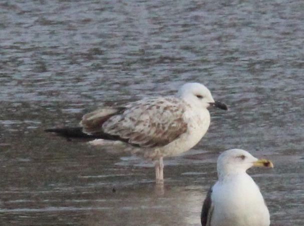 Caspian Gull  - Bertrand Lamothe