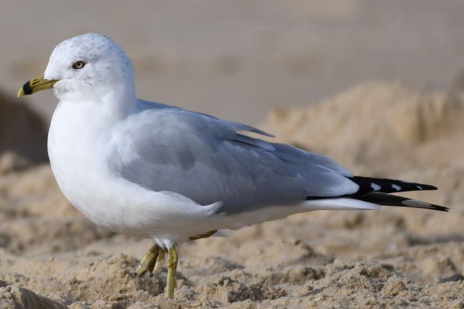 Ring-billed Gull  - Didier Bats
