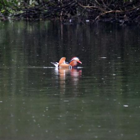 Mandarin Duck  - Alain Dupuy