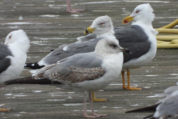 Hybrid Gull sp.  - Sophie Damian