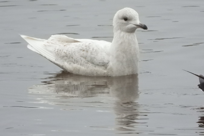 Iceland Gull  - Sophie Damian