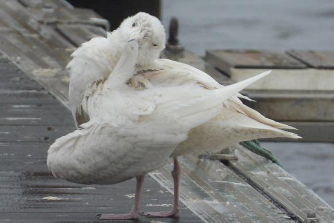 Glaucous Gull  - Sophie Damian