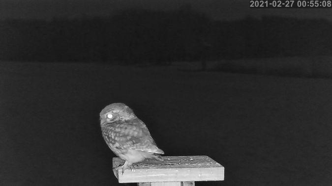 Little Owl  - Stephane de Werra