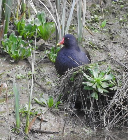 Common Moorhen  - Alain Larrieu