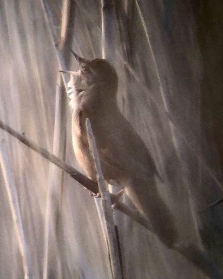 Savi's Warbler  - Giovanni Marsicano