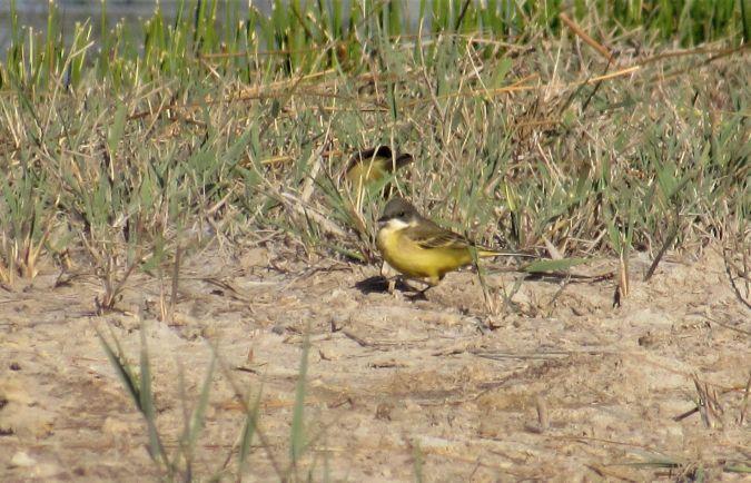 Western Yellow Wagtail (M.f.cinereocapilla)  - Mathieu Taillade
