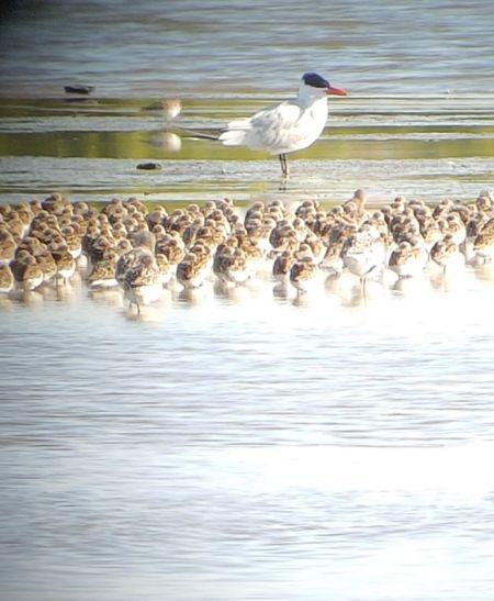 Reuzenstern  - Le Teich Réserve Ornithologique-Pnrlg