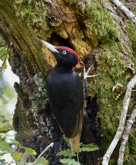 Black Woodpecker  - Geoffroy Chabot