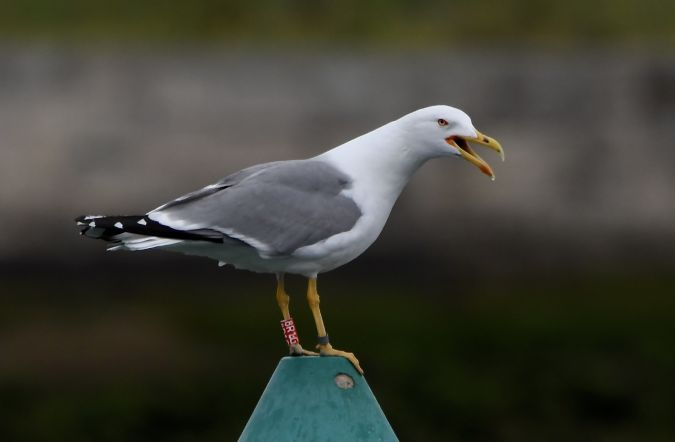 Cantabric Yellow-legged Gull  - Geoffroy Chabot