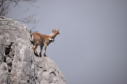 Iberian Ibex  - Bernadette Lucq